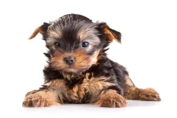 A black Yorkshire Terrier puppy