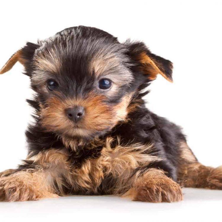 A black Yorkshire Terrier puppy