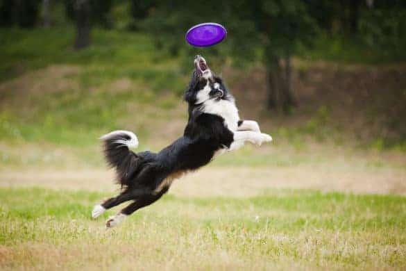 A border collie catching a frisbee