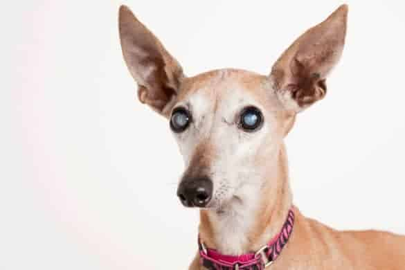 A dog with obscured lenses in the eyes