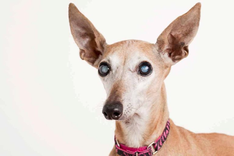 Helping Our Dogs Cope with Cataracts